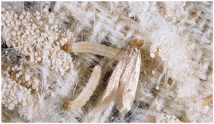 Moth cocoons in carpets